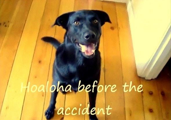 12.10.15 - Service Dog Hit by Car While Chasing Burglars5