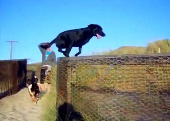 12.10.15 - Service Dog Hit by Car While Chasing Burglars6