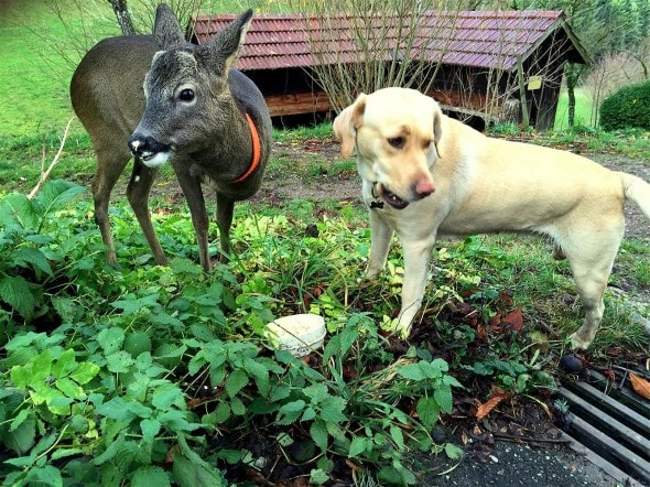 12.13.15 - Dog & Orphaned Fawn Form Lifelong Friendship at German Christmas Tree Farm1