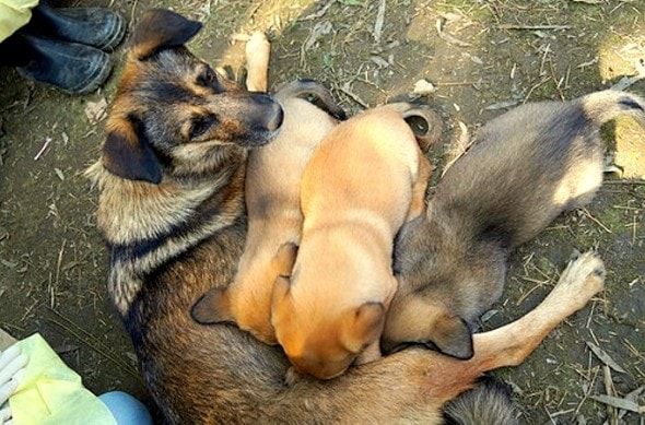 12.13.15 - Mama and Puppies Saved After Being Buried Alive2