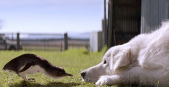 Tiny Australian Penguins and the Dogs that Protect Them