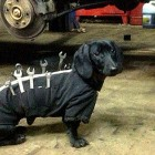 Dachshund Gets a Job as a Mechanic's Assistant