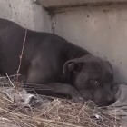 Pit Bull Living Dangerously Close to Highway Rescued