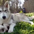 Wolf Adopts Baby Kitten