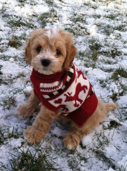 Christmas sweater for dog