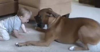 Boxer Attacks Baby with Kisses