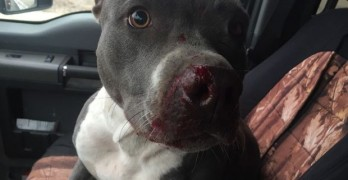 Man Risks Life to Save Pit Bull Dumped on Busy Interstate