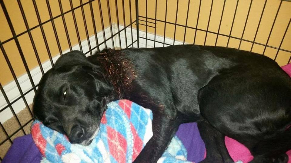 woman rescues and fosters gunshot injured dog