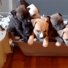 Caution: Here Are Eight Pit Bulls Barking