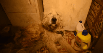 Injured and Neglected Puppy Mill Dog Makes Amazing Recovery
