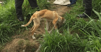 There's Hope for Malnourished Dog Found Tied in Farmland