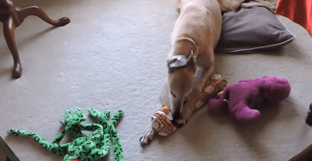 Dog Loves Opening Christmas Gifts