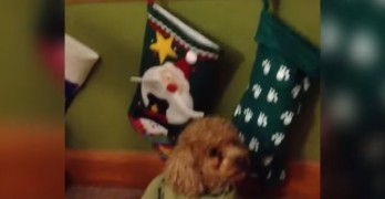 Pets Are Confounded by Christmas Stockings