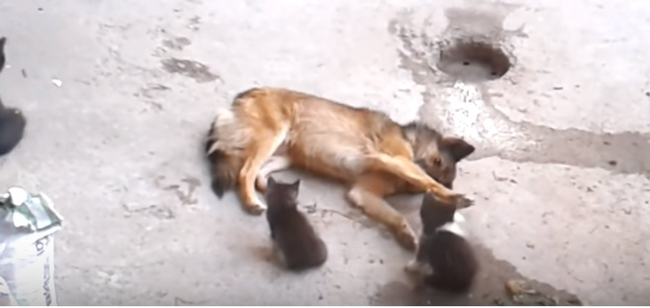 Mother Cat Introduces Kittens to Family Dog