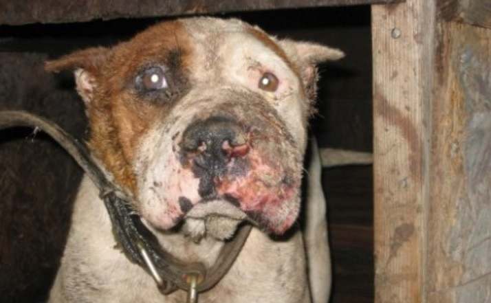 Dog Fighting Ring Bust in Pontiac, Michigan