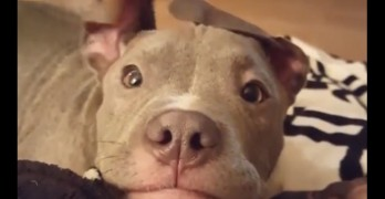Pit Bull with Helicopter Ears