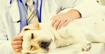 Dog Flu Hits Again – Here's How to Keep Yours Safe
