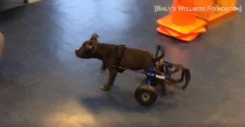 Adorable Pitbull Puppy Named Lt. Dan