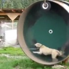 Man Builds Dog-Sized Hamster Wheel