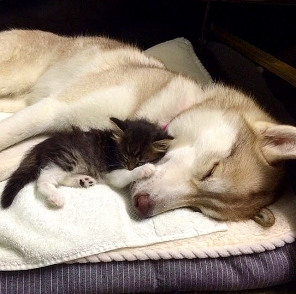 1.23.16 - Three Huskies Raise a Kitten and Adopt Her as Their Own1