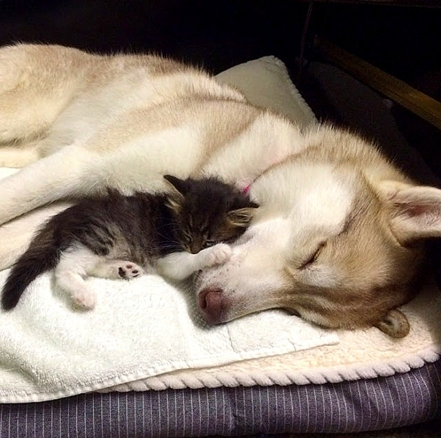 Three Huskies Raise a Kitten and Adopt Her as Their Own