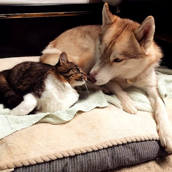 Three Huskies Raise a Kitten and Adopt Her as Their Own ...