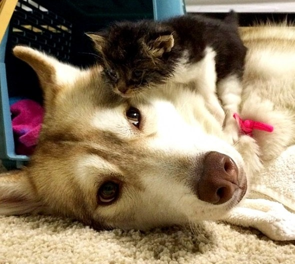 1.23.16 - Three Huskies Raise a Kitten and Adopt Her as Their Own2