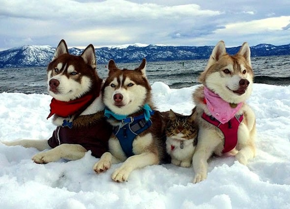 1.23.16 - Three Huskies Raise a Kitten and Adopt Her as Their Own8