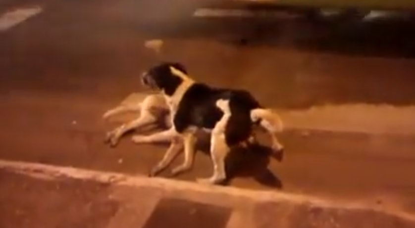 Dog Stands Guard Over Fallen Friend While Humans Do Nothing