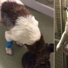 "Abandoned Dog from UK Has ""Football-Sized"" Tumor Removed"