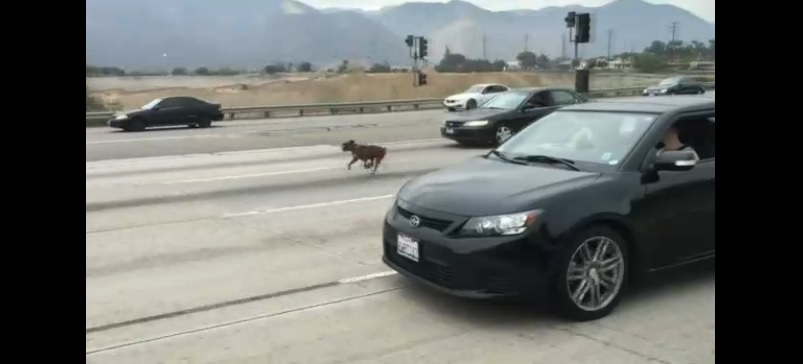 Drivers on California Highway Stop Traffic to Rescue Dog