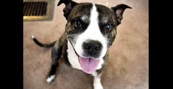 15-Year-Old, 3-Legged Pit Bull Saves Family from Armed Intruder