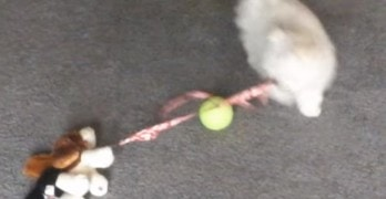Puppy Takes Stuffed Dog Toy for a Walk
