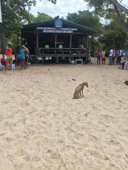 Saori hoping for love and food in Playa Blanca, Colombia. Photo credit: Cartagena Paws.
