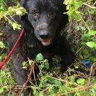 Abandoned Dog Loses Leg to Bear Trap