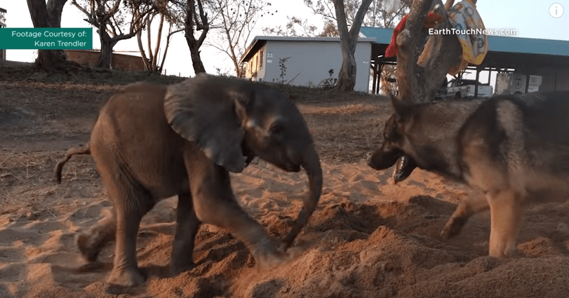 Dog Helps Baby Elephant Find Will to Live