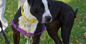 Dog Awaiting Surgery Is Abducted from Shelter