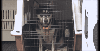 Well-Intentioned Man Has No Choice and Surrenders 19 Huskies