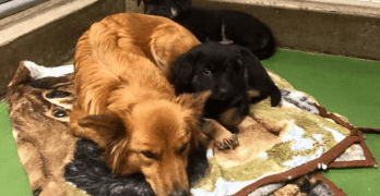 Surrogate Dog Mom Escapes Kennel to Comfort Crying Puppies