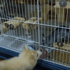 Dogs Befriend Chinchillas