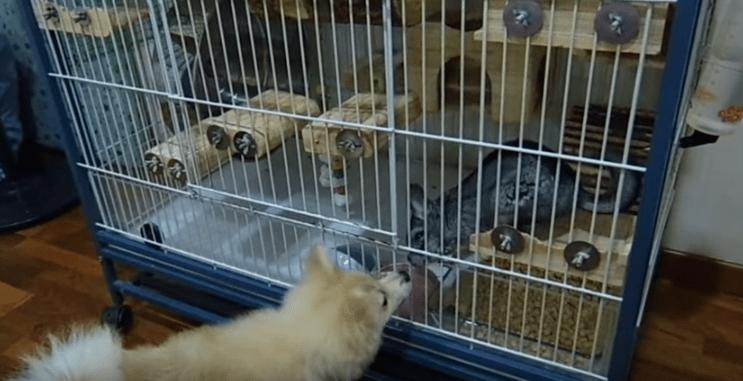 Dogs Befriend Chinchillas