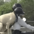 Dog Obeys Transit Laws and Wears Safety Helmet