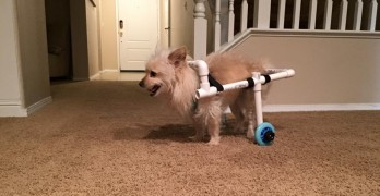 Paralyzed Dog Regains Mobility With $40 DIY Doggy Wheelchair