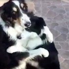 "Border Collies Dewey and Blaze ""Hug it Out!"""