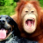 Orangutan and Dog Become Best Friends at a Wildlife Refuge