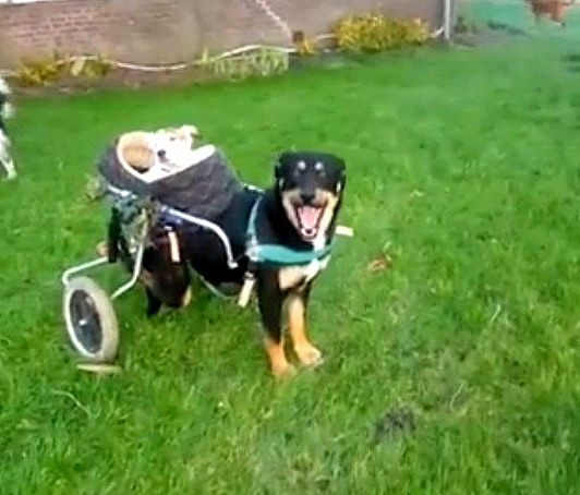 2.18.16 - Dog with Wheelchair Carts Around Blind, Deaf Friend