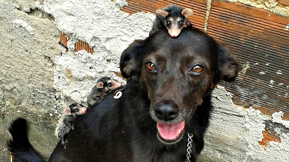Dog Takes Her Adopted Opossum Babies for Piggyback Rides