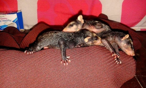 2.19.16 - Dog Takes Adopted Baby Opossums on Piggyback Rides2