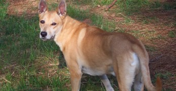 The Origin of the Carolina Dog or American Dingo