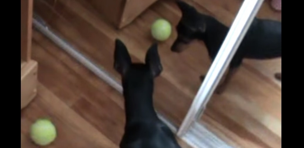 Dog Goes After Reflection of Ball Instead of Real One